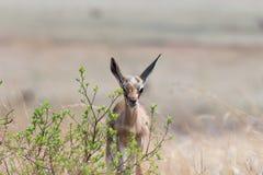 Лань Springbuck Стоковые Фото