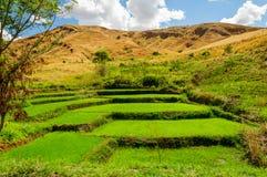 Ландшафты поля риса Стоковые Фото