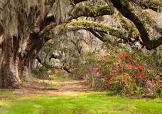 Деревья, мох и азалии дуба в реальном маштабе времени тоннеля стоковые изображения rf