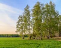 Ландшафт весны, береза на краю поля Стоковое фото RF