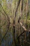 Ландшафт весны леса Деревья в воде и их отражении внутри Стоковые Фото