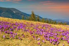 Ландшафт весны и красивые цветки крокуса в glade, Румынии Стоковые Изображения