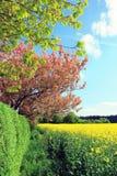 Ландшафт весны с полем и вишневыми деревьями рапса Стоковое Изображение