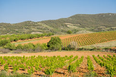 Ландшафт виноградника весной Стоковое Изображение