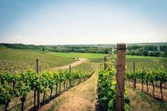 Ландшафт виноградника в раннем лете Стоковое Изображение RF