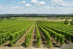 Ландшафт виноградника Стоковая Фотография