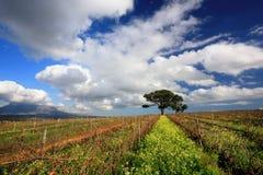 Ландшафт виноградника Стоковые Изображения
