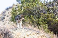 Ландшафт волка тимберса Стоковые Фотографии RF
