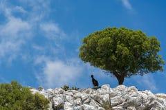 Ландшафт горы Греции с козой & оливковым деревом Стоковая Фотография RF