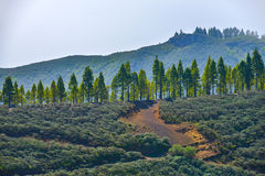 Ландшафт горы с вулканическими почвой и соснами в острове Gran Canaria, Испании Стоковые Фото