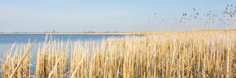 Ландшафт голландца панорамы с тростником Стоковая Фотография RF
