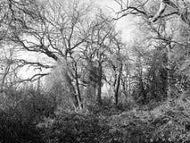 Ландшафт дерева в черно-белом в wivenhoe Стоковое Изображение RF