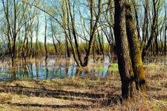 Ландшафт леса весны - лесные деревья riparian затопили с переполняя речной водой в солнечной погоде весны стоковое изображение