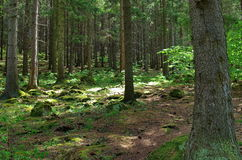 Ландшафт леса сосны Стоковые Фото