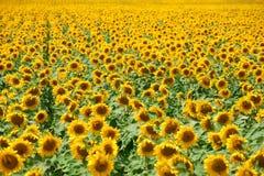 Ландшафт лета крупного плана поля солнцецвета, аранжированная строка Стоковая Фотография RF