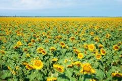 Ландшафт лета крупного плана поля солнцецвета Стоковое Изображение RF