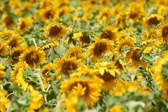 Ландшафт лета крупного плана поля солнцецвета Стоковые Изображения RF