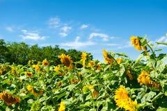 Ландшафт лета крупного плана поля солнцецвета Стоковые Фото