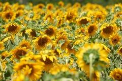 Ландшафт лета крупного плана поля солнцецвета Стоковые Фотографии RF
