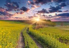 Ландшафт лета с полем желтых цветков. Стоковое фото RF