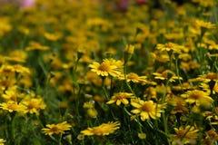 Ландшафт лета с Blossoming лугом с цветками Стоковые Изображения