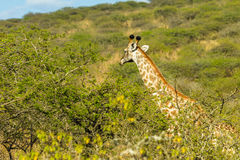 Ландшафт живой природы деревьев жирафа Стоковое Фото