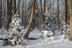 Ландшафт зимы главным образом лиственного леса в свете захода солнца стоковое фото rf