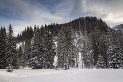 Ландшафт зимы леса елей Стоковое Изображение