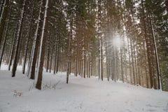 Ландшафт зимы леса елей Стоковые Фото