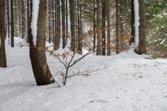 Ландшафт зимы леса елей Стоковая Фотография