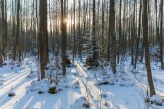 Ландшафт зимы естественного леса с деревьями ольшаника стоковое изображение rf