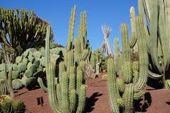 Ландшафт кактуса Стоковые Изображения