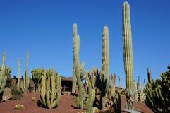 Ландшафт кактуса Стоковая Фотография RF