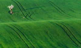 Ландшафт красивой весны европейский с белым цветя яблоком и малым солитарным оленем на предпосылке поля зеленой травы стоковое изображение rf