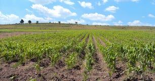 Ландшафт кукурузного поля в Мексике Стоковое Изображение