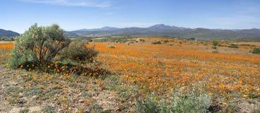 Ландшафт национального парка Namaqua панорамный Стоковые Изображения RF
