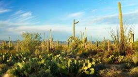 Ландшафт национального парка Saguaro Стоковые Фотографии RF