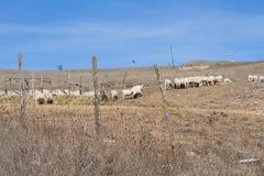 Ландшафт овец Стоковое Фото