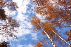 Ландшафт осени, береза и голубое небо Стоковые Фотографии RF