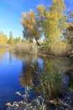 Ландшафт осени - березы золота приближают к пруду Стоковые Фотографии RF