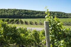 Ландшафт осенью #3 виноградника стоковое изображение rf