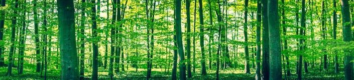Ландшафт панорамы леса бука Стоковое фото RF