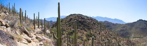 Ландшафт панорамы пустыни с голубым небом и кактусом Стоковые Изображения RF