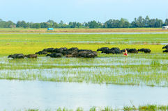 Ландшафт, перепад Меконга, буйвол, затопил поле риса стоковое изображение