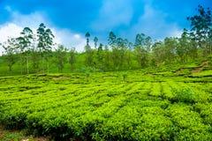 Ландшафт плантации чая Стоковая Фотография