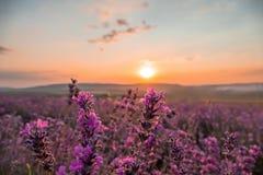 Ландшафт полей лаванды на заходе солнца стоковая фотография rf