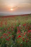 Ландшафт поля мака в восходе солнца сельской местности лета Стоковое Фото