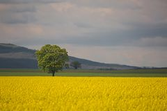 Ландшафт поля рапса Стоковая Фотография RF