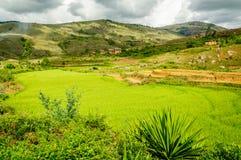 Ландшафт поля риса Стоковая Фотография RF