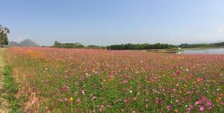 Ландшафт поля цветков космоса Стоковое фото RF